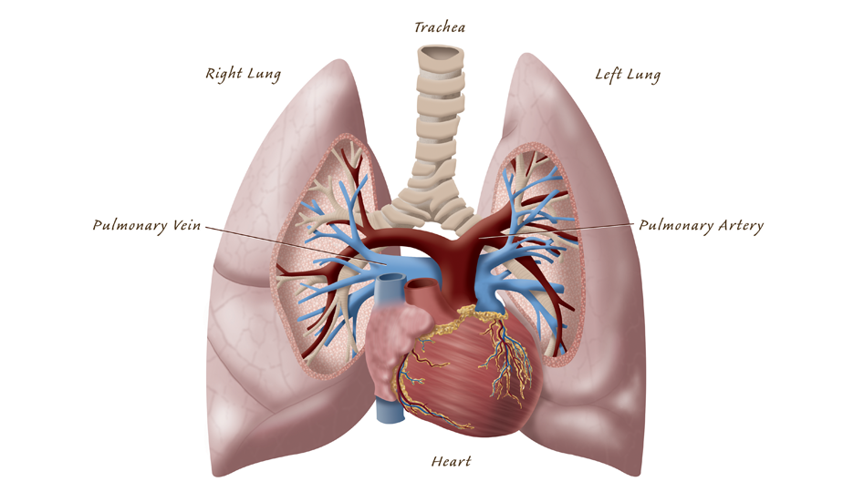 Heart And Lung Anatomy Uahs Biocommunications